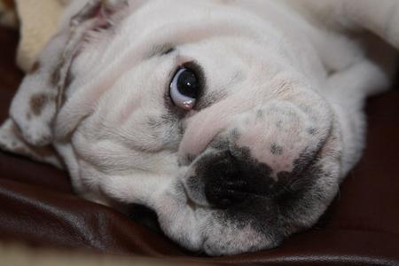 Salliemaye the Bulldog Pictures 781295