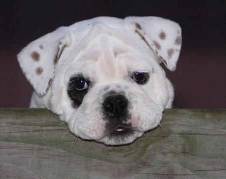 Salliemaye the Bulldog Pictures 781297