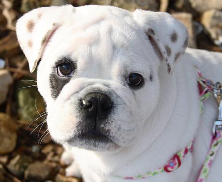 Salliemaye the Bulldog Pictures 781299