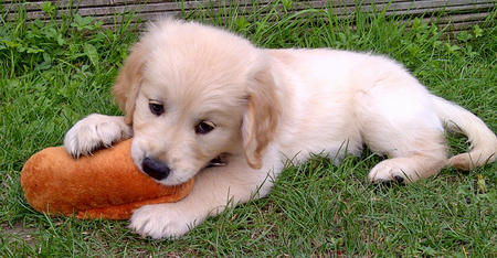 Sam the Golden Retriever Pictures 983179