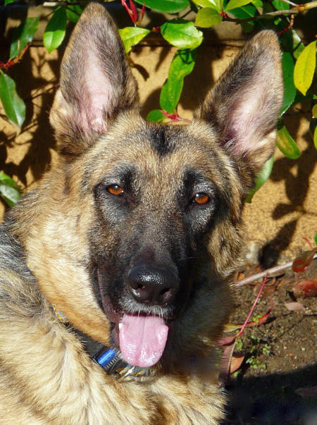Sammi the Adoptable German Shepherd Dog Pictures 569067