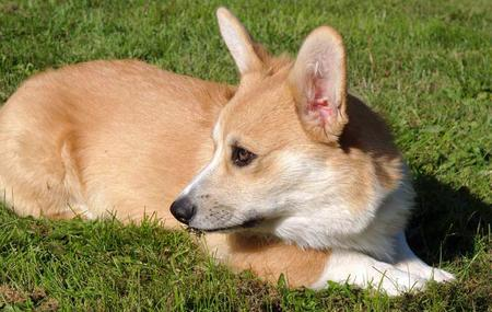 Sammy the Pembroke Welsh Corgi Pictures 629035