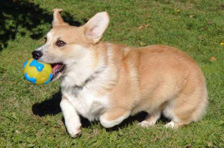 Sammy the Pembroke Welsh Corgi Pictures 629037