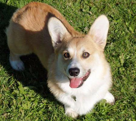 Sammy the Pembroke Welsh Corgi Pictures 629040
