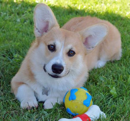 Sammy the Pembroke Welsh Corgi Pictures 629034