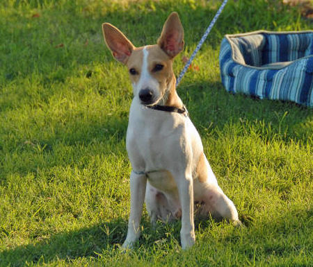Samson the Toy Fox Terrier Pictures 964607