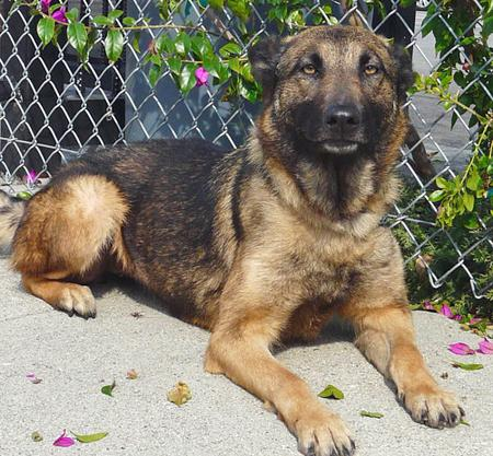 Sandy the Adoptable German Shepherd Mix Pictures 564358