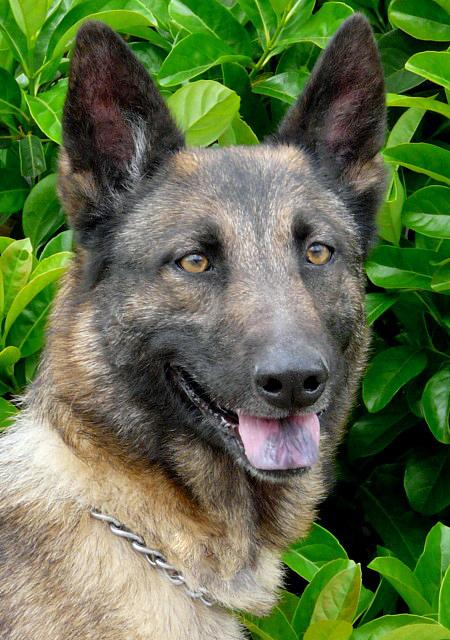 Sandy the Adoptable German Shepherd Mix Pictures 782262