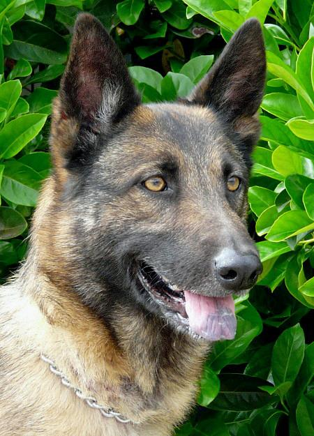 Sandy the Adoptable German Shepherd Mix Pictures 782263