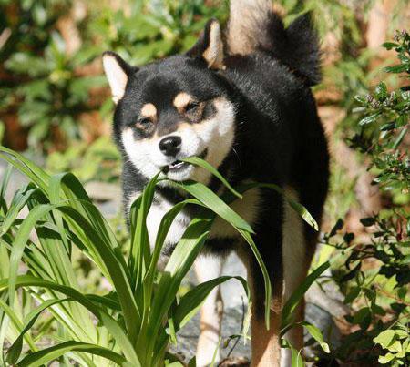 Saru the Shiba Inu Pictures 809163