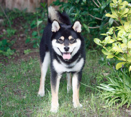 Saru the Shiba Inu Pictures 809164