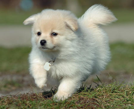 Savannah the Pomeranian Pictures 520276