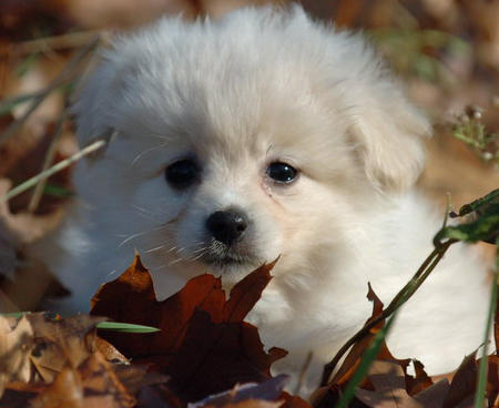 Savannah the Pomeranian Pictures 520265