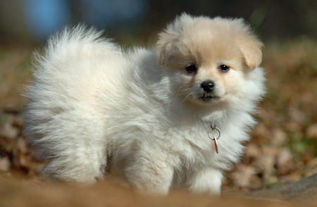 Savannah the Pomeranian Pictures 520266