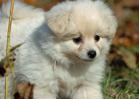 Savannah the Pomeranian Pictures 520270