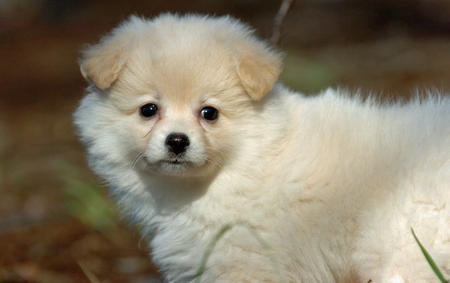 Savannah the Pomeranian Pictures 520271