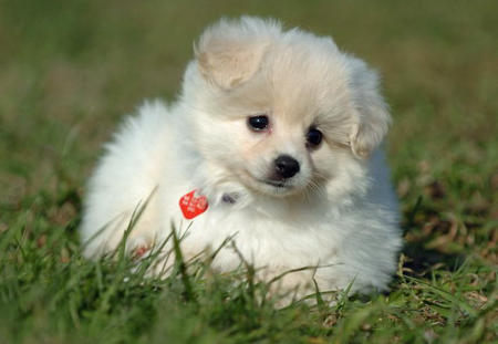 Savannah the Pomeranian Pictures 520273