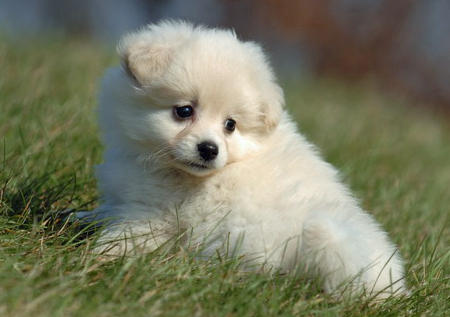Savannah the Pomeranian Pictures 520275
