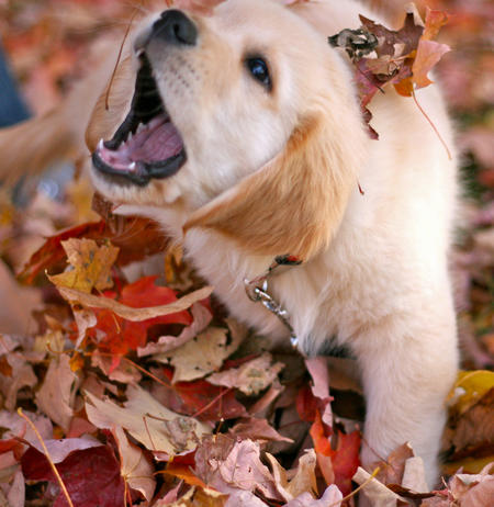 Sawyer the Golden Retriever Pictures 688845