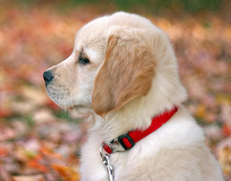 Sawyer the Golden Retriever Pictures 688846