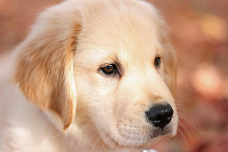 Sawyer the Golden Retriever Pictures 688849