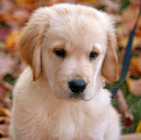 Sawyer the Golden Retriever Pictures 688844