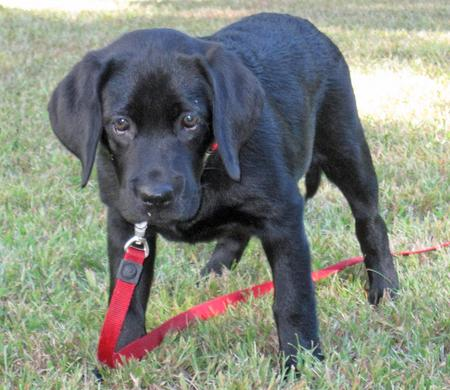 Scarlett the Labrador Retriever Pictures 949213