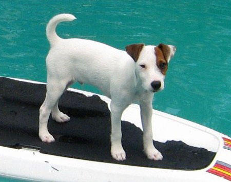 Scooby the Jack Russell Terrier Pictures 824856