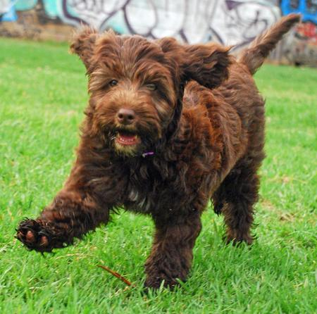 Scooter the Portuguese Water Dog Mix Pictures 891089