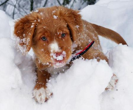Scotie the Nova Scotia Duck Tolling Retriever Pictures 955023