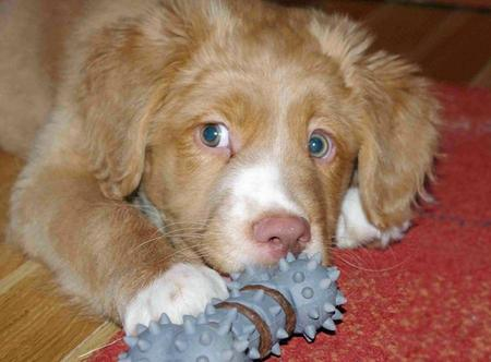 Scotie the Nova Scotia Duck Tolling Retriever Pictures 955026