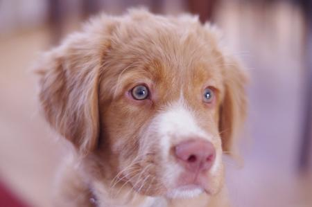 Scotie the Nova Scotia Duck Tolling Retriever Pictures 955030