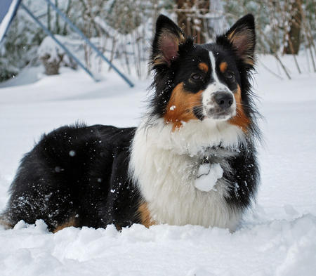 Scout the Australian Shepherd  Pictures 658155