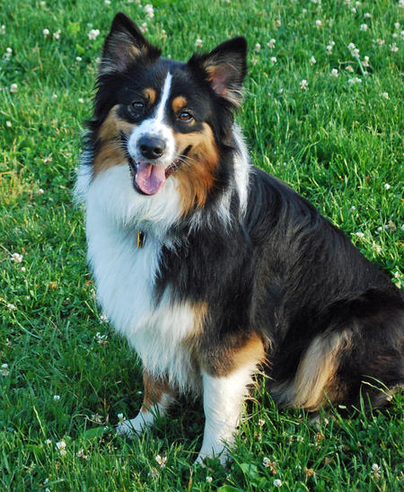 Scout the Australian Shepherd  Pictures 658157