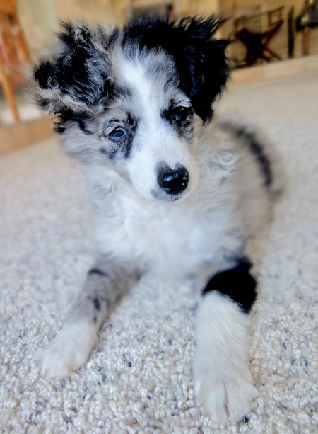 Scout the Australian Shepherd Mix Pictures 992870