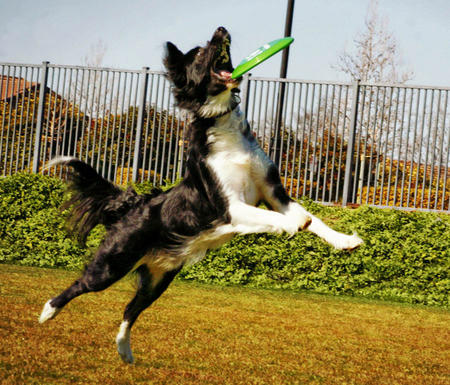 Scout the Border Collie Pictures 980383