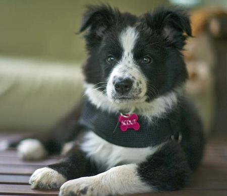Scout the Border Collie Mix Pictures 885022