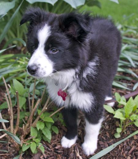 Scout the Border Collie Mix Pictures 972909