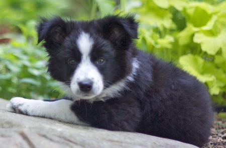 Scout the Border Collie Mix Pictures 885019