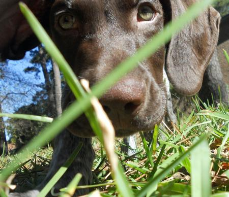 Scout the German Shorthaired Pointer Pictures 937145