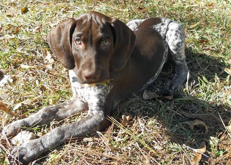 Scout the German Shorthaired Pointer Pictures 937146