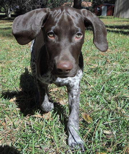 Scout the German Shorthaired Pointer Pictures 937148