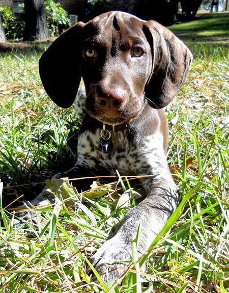 Scout the German Shorthaired Pointer Pictures 937142