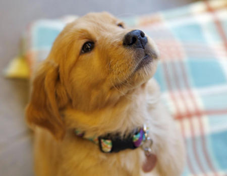 Scout the Golden Retriever Pictures 785592