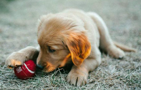 Scout the Golden Retriever Pictures 785596