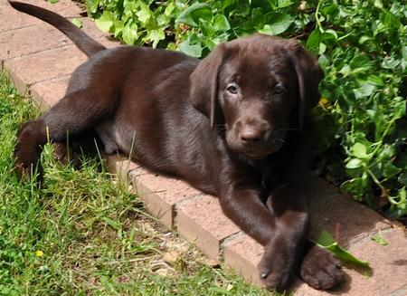 Scout the Labrador Retriever Pictures 699525