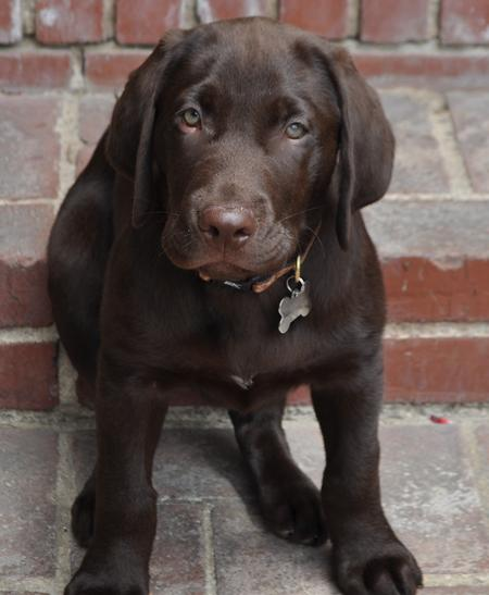Scout the Labrador Retriever Pictures 798281