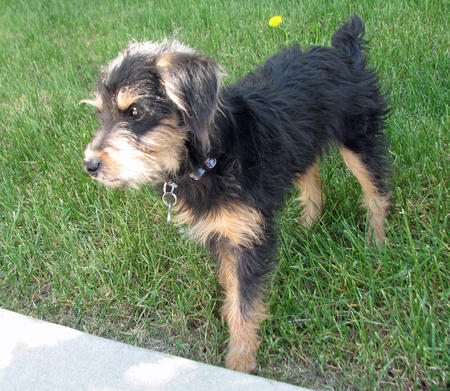Scout the Welsh Terrier Mix Pictures 897695