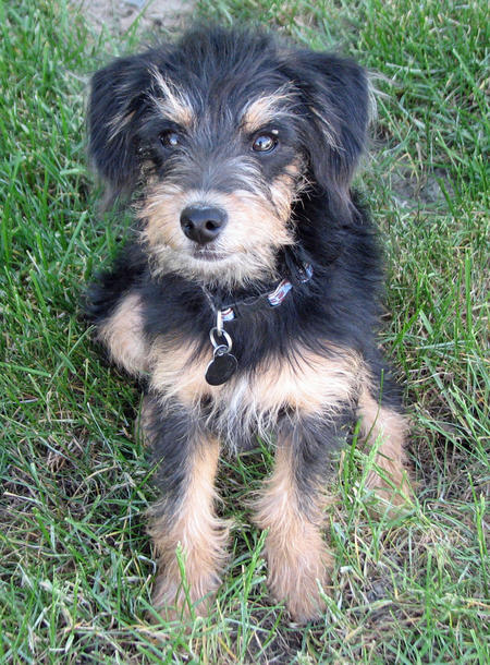 Scout the Welsh Terrier Mix Pictures 897697