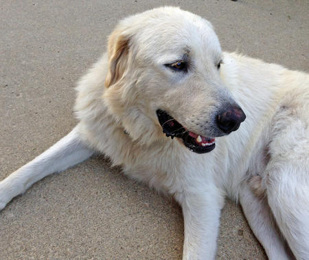 Seeley the Great Pyrenees Pictures 1022945